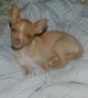 Smarty Pet Chihuahua