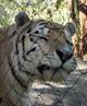 Townee Bengal Tiger