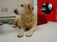 Profile photo:  Sadie Yellow Labrador Retriever Lorber