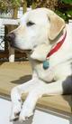 Profile photo:  Bailey Yellow Labrador Retriever Lorber