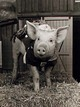 Profile photo:  Arnold the Pig