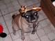 """Profile photo:  Milo's Pugsley """"Pugsley"""" DeAngelis"""