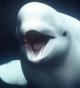 Kathy the Beluga Whale