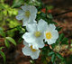 Cherokee Rose~1