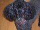 """Profile photo:  Louis De Loon """"Louie"""" Poodle Dog"""