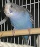 Profile photo:  Lil Bill Bleuberry Budgie