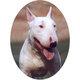 "Profile photo:  ""The Bull Terrier"" Shell"