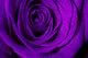 PurpleRose769