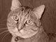 Sheba (Cat)