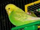 Shelley Budgie