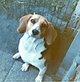 Silky Columbo the dog