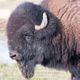 buffalotable