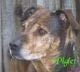 """Profile photo:  Piglet """"Piggly Wiggly"""" (Dog)"""