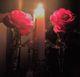 Pomona Rose