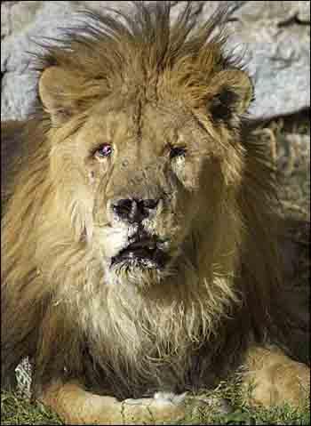Marjan the Lion