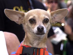 Gidget Taco Bell Dog Chipperton