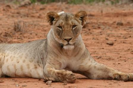 Narika The Lioness