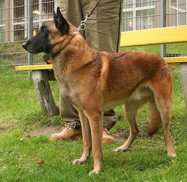 Faithful Dog Nitro