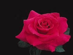 Rose Pearse