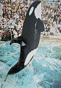 Shamu The Whale I
