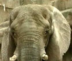 Peaches The Elephant