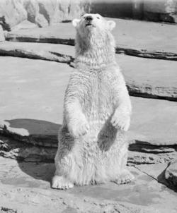 Velox Polar Bear