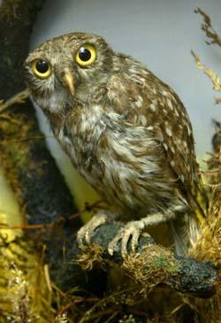 Owlet Athena