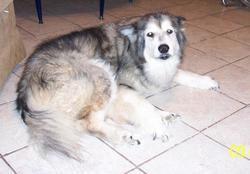 Cheena Dog