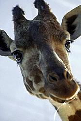 Hildy The Giraffe