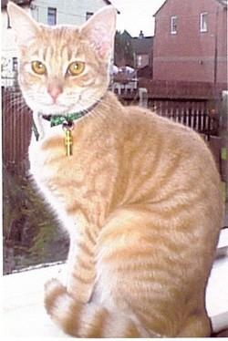 Tiger <I>Lloyd</I> (Cat)