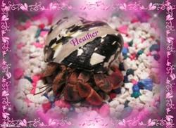 My Hermit Crab Heather