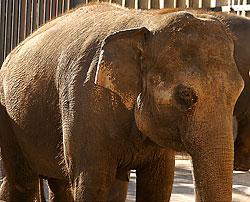 Babe The Elephant