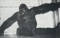 """Gargantua """"Buddy"""" The Gorilla"""