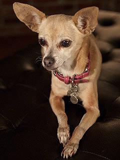 "Gidget ""Taco Bell Dog"" Chipperton"
