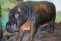 """Huberta """"(the Hippo)"""""""