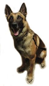 Ranger K-9 Dog