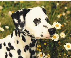 Daisies and Dalmations