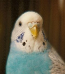 Lacey Spangle Budgie