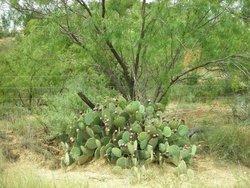 Cactus Mesquite