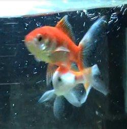 """Lippy The """"Lippity Lea"""" Goldfish"""