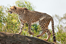 Pippa <I>Adamson</I> Cheetah