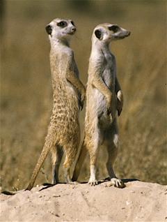 """Shakespeare """"Kat"""" <I>Whiskers</I> Meerkat"""