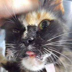 Alice Sweet Cat