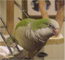 Chico Rodrico (Parrot) Howard