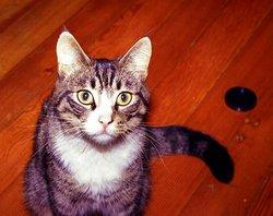 """Little Liddian """"The LIT"""" <I>Hecht</I> Cat"""