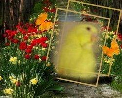 Sunshine Charley Budgie