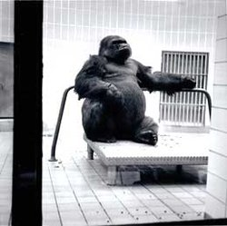 Samson #0021 Gorilla (1949-1987) - Find A Grave Memorial