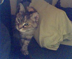 Misty (Cat)