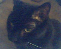 Merlin (Cat)
