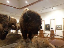 Hornaday's Bull